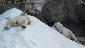 Two funny polar bears. Having fun stock footage