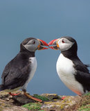 Two funny puffins Stock Image