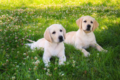 Two funny puppy. Cute labrador puppies on the green grass in the park. Small puppies best and funny friends royalty free stock image