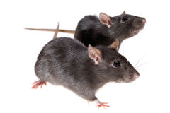 Two funny rats Stock Photos