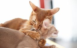 Two funny red cats playing. Adorable animal royalty free stock photography