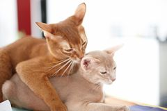 Two funny red cats playing. Image of adorable animals royalty free stock photos