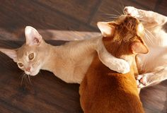 Two funny red cats playing. Image of adorable animals stock photo
