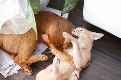 Two funny red cats playing. Image of adorable animals royalty free stock image