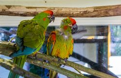 Two funny red fronted macaw parrots sitting together on a branch, tropical and critically endangered birds from Bolivia. Two funny red fronted macaw parrots stock photography