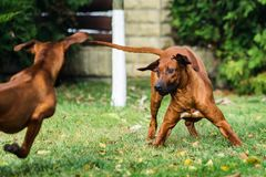 Two funny Rhodesian Ridgebacks dogs playing, running, c. Two funny friendly Rhodesian Ridgebacks dogs playing, running, chasing royalty free stock images
