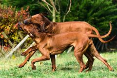 Two funny Rhodesian Ridgebacks dogs playing, running, c. Two funny friendly Rhodesian Ridgebacks dogs playing, running, chasing stock photography