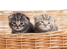 Two funny small kittens in wicker basket Stock Images