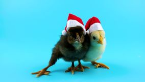 Two funny small roosters, one of them trying to take of the Santa hat stock footage