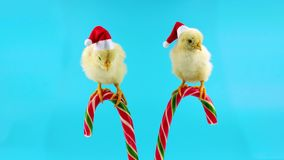 Two funny small roosters, Santa helpers, sitting on the Christmas candy cane. Celebration Chinese New Year of the Rooster, ready to be keyed stock footage