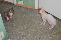 Two funny sphinx cats . animal background. copy space stock image