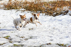Two funny terrier dogs racing quickly and barking. Pair of Jack Russell Terriers running outside Stock Images