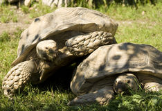 Two funny turtles Royalty Free Stock Image