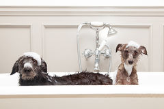 Two funny wet dogs in bathtub Stock Images