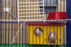 Two funny white and gray tame curious mouses hamsters with shiny eyes looking from bright yellow cage behind metal bars. Keeping