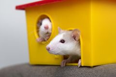 Two funny white and gray tame curious mouses hamsters with shiny eyes looking from bright yellow cage window. Keeping pet friends