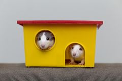 Two funny white and gray tame curious mouses hamsters with shiny eyes looking from bright yellow cage window. Keeping pet friends. At home, care and love to stock photos