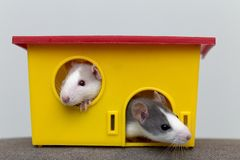 Two funny white and gray tame curious mouses hamsters with shiny eyes looking from bright yellow cage window. Keeping pet friends. At home, care and love to royalty free stock photography