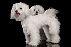 Two Funny White Maltese Dogs Standing, Looking in Camera isolated. Two Funny White Maltese Dogs Standing and Looking in Camera isolated on Black background Stock Photography