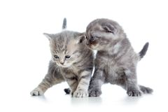 Two funny young cat kittens play together Stock Image