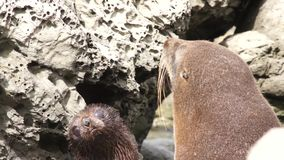 Two fur seal on rocks. New Zealand stock video footage