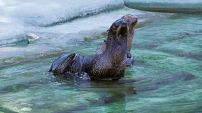 Two fur seals are cleaned and scratched tail in the water near the shore stock video