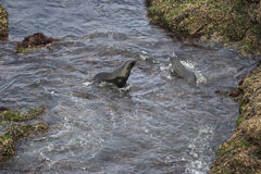 Two fur seals inside the ocean stock images