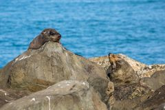 Two Fur Seals laying on the rocks of the New Zealand Coast Royalty Free Stock Images
