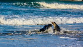 Australasian fur seal frolicking on the beach and in the ocean, Otago, New Zealand. Two fur seals a male and a female playing in the surging surf on Otago, New Royalty Free Stock Image