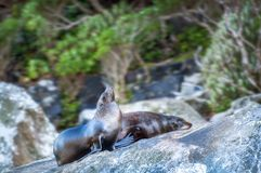 Two Fur Seals resting on the rocks at Milford Sound. Two Fur Seals resting on the rocks in the morning at Milford Sound, part of the wildlife colonies existing Stock Photo