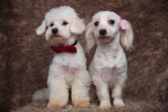 Two furry bichons with bowties sit and look to side. Two furry bichons with bowties sit on brown fur background and look to side Stock Photo