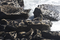 Two furry seals on rocks Royalty Free Stock Photos