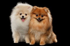 Two Furry White Red Pomeranian Spitz Dogs Sitting, Smiling isolated Royalty Free Stock Image