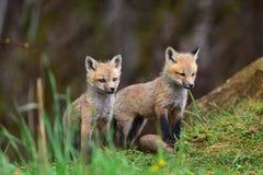 Two fuzzy red fox kits stock photos