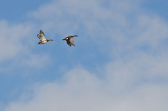 Two Gadwalls Flying Among the Clouds Royalty Free Stock Images