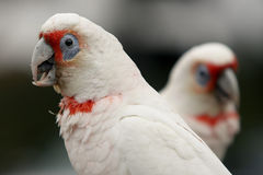 Two galah birds facing opposite directions. Two Australian white Galah birds facing opposite directions Stock Photography
