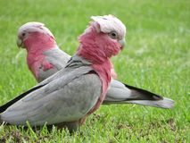 Two Galahs Stock Photography