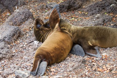 Two Galapagos Baby Sea Lions. Two baby sea lions playing on the beach in the Galapagos Islands stock photo