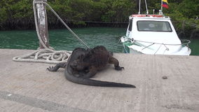 Two Galapagos iguanas on background of sea and boat on Santa Cruz Island. stock video footage