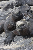 Two Galapagos Marine Iguanas Royalty Free Stock Photography