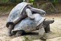 Two Galapagos tortoise. At the zoo in Singapore Stock Photos