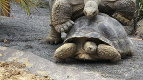 Two Galapagos tortoise mating. Two Galapagos tortoise (Chelonoidis nigra) mating. A full-grown Galapagos tortoise can weigh 260kg and It can live more than 150 stock video footage