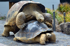 Two Galapagos tortoise mating Stock Photos