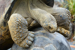 Two Galapagos tortoise mating Royalty Free Stock Photo