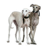 Two Galgo espanol dogs, standing. Two Galgo espanol dogs, 8 and 7 years old, standing in front of white background Royalty Free Stock Images