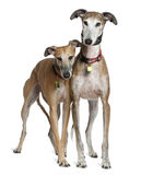 Two Spanish Greyhounds, 3 and 6 years old, standing Royalty Free Stock Photo