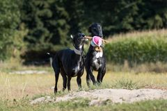Two sighthounds are playing with a plush toy Royalty Free Stock Photo