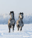 Two galloping Andalusian stallions. Two galloping Andalusian horses. Left horse are in focus Stock Images
