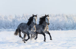 Two galloping dapple-grey Purebred Spanish horses Royalty Free Stock Images