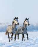 Two galloping gray horses Royalty Free Stock Photos